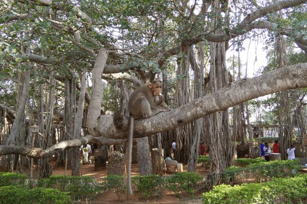 Dodda alada mara Bangalore